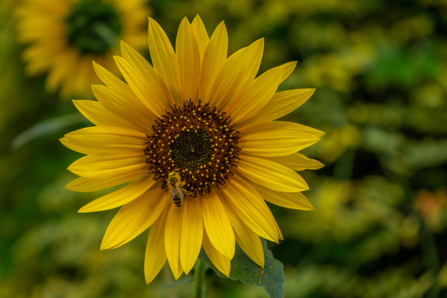 Bee landing on a bright yellow sunflower in the garden of a Vashon Island assisted living facility